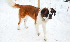 Simon's Saints - Saint Bernard Puppies