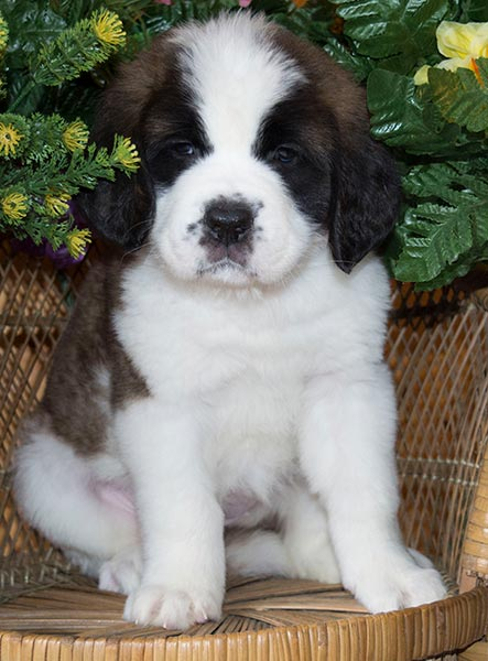Fat Puppy Simons St Bernard Puppies